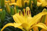 Beautiful yellow lily