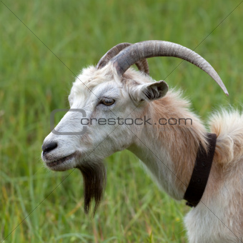 Head of a goat