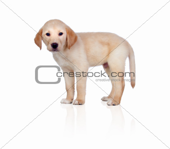 Beautiful Labrador retriever puppy