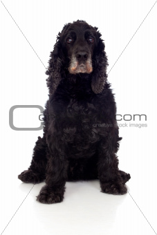 Beautiful black Cocker Spaniel