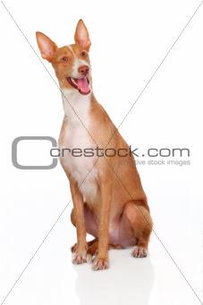 Beautiful spanish hound