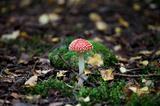 fungus agaric