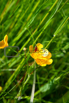 Ladybug on yellow Buttercup Flower