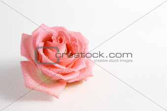 delicate rose in dew