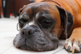 sleepy boxer breed