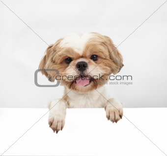 Adorable little dog with blank board