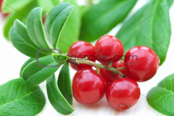 fresh cowberry