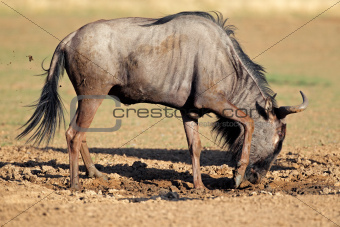 Blue wildebeest playing