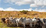 Herd of brahman beef cattle cows
