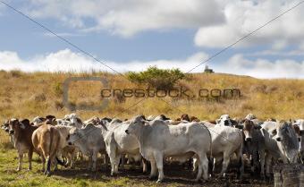Herd of brahman beef cattle cows