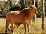 Australian beef cattle young bull