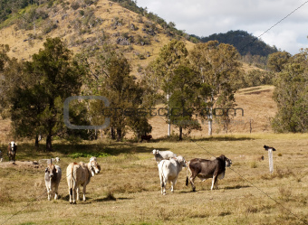 Australian rural scene beef cattle