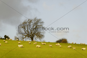 Sheeps in a field in winter