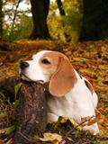 Beagle lying on the tree root