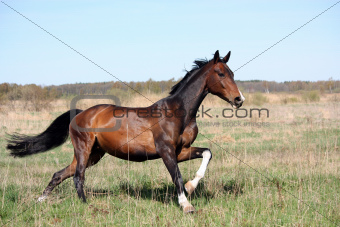 Bay horse galloping at the field