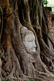 monk head in the banyan tree