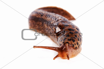 Slug on a white background