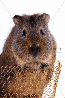 Portrait of a guinea pig in a basket