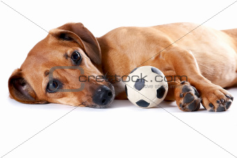 The red dachshund with a ball lies