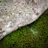 Rock, moss and pine needles