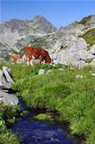 mountain cow pasture
