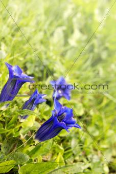 Gentian - Gentiana officinalis