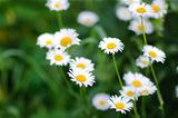 Chamomile fresh flowers