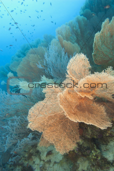 Gorgonian fan corals on a tropical reef