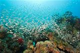 Shoal of glassfish on a coral reef