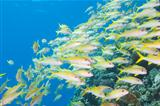 Shoal of goatfish on a tropical reef