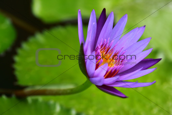 Fresh Purple Lotus