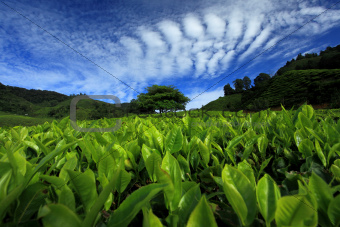 Tea Plantation - Cameron Highlands