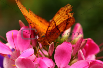 Butterfly On Flower.