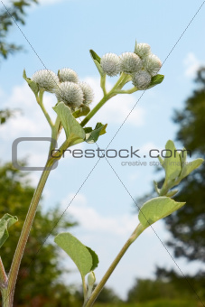 Burdock inflorescences