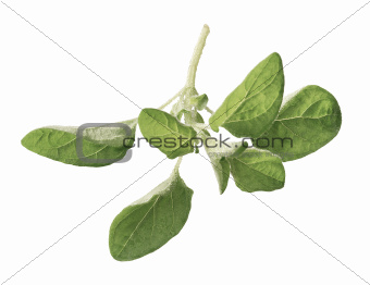 Oregano