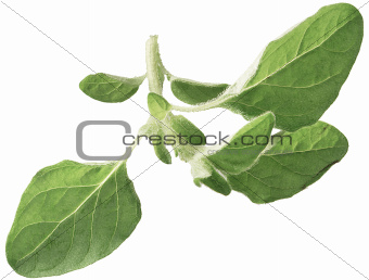 Twig of Oregano