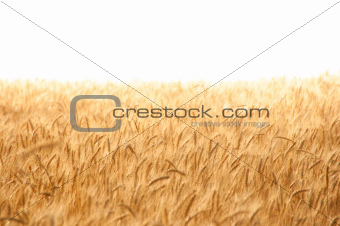Golden wheat field on hot sunny day.