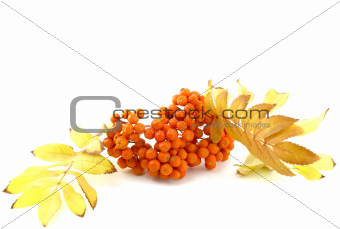 Ripe rowan berry with color leafs in autumn
