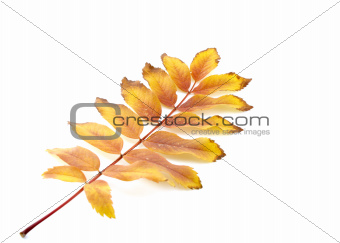 Twig with color autumn leaves
