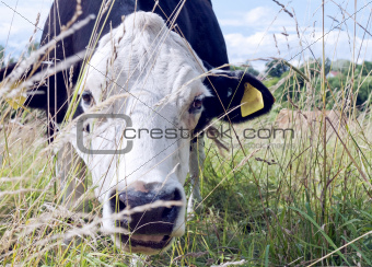 A cow in the grass
