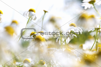 Camomile, summer meadow