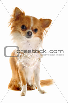 chihuahua with pearl collar