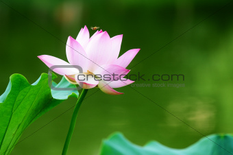 Lotus flower blooming in pond