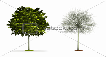Small Maple Tree.