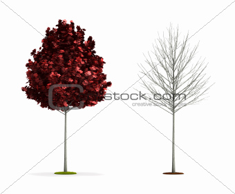 Small Red Maple Tree.