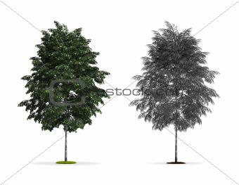 Silver Birch Tree.