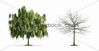 White Willow Tree.
