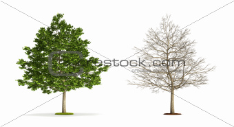 Field Maple Tree.