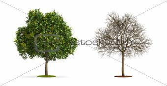 Goldenrain Tree.