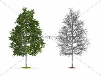 White Birch Tree.